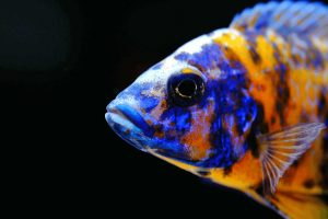 best food for african cichlids