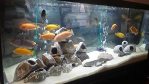 Cichlid fish and caves