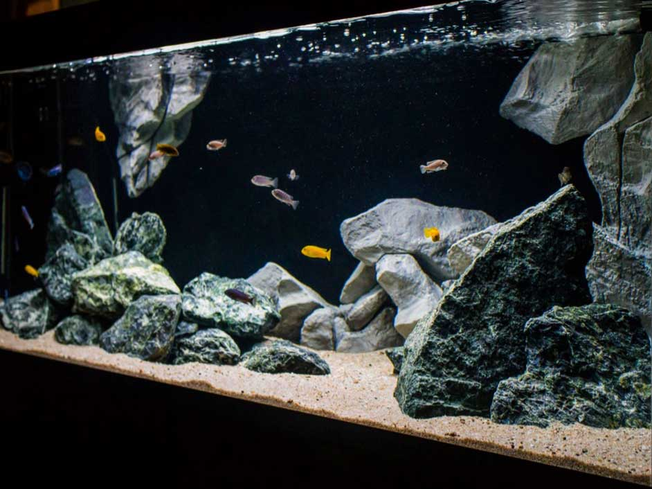 Cichlids and stones