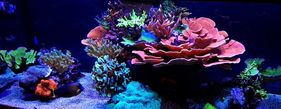 SPS and LPS corals in reef tank with LED lighting