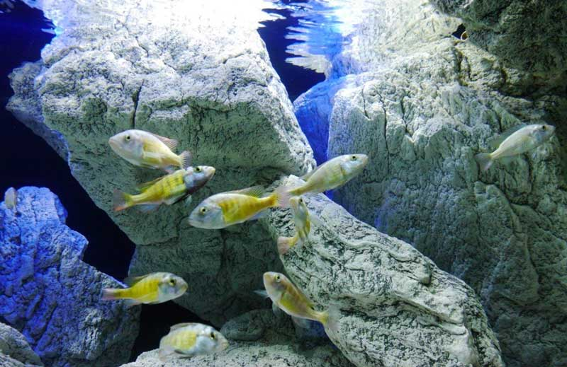 Stones with cichlids