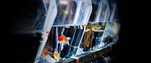 Aquarium fish in plastic bags