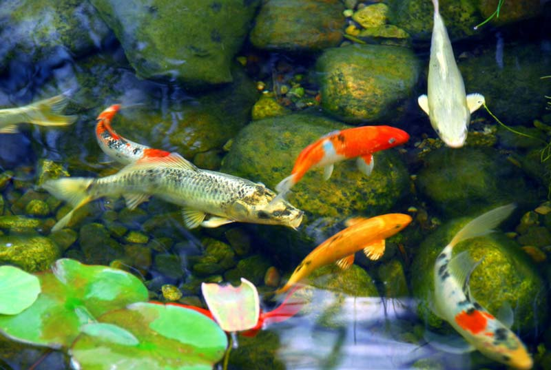 Koi pond with koi fish