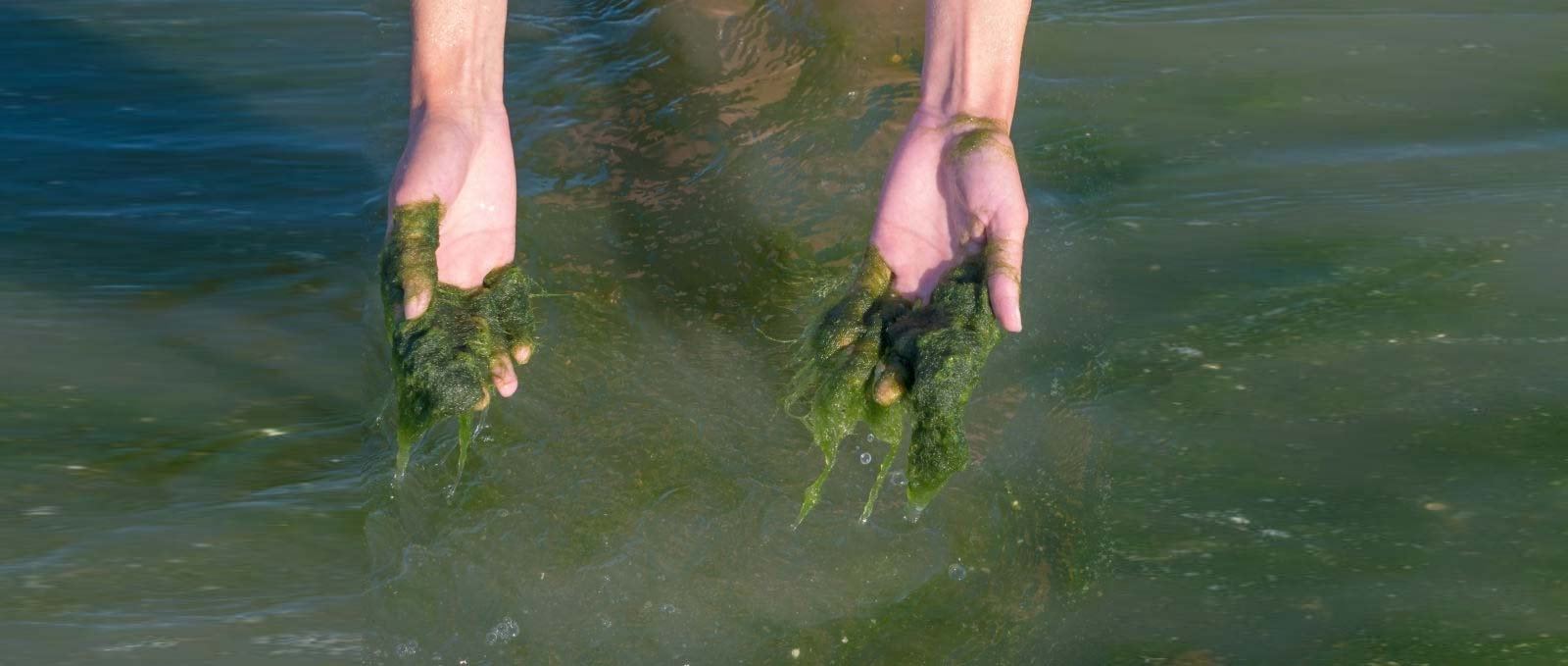 Pond algae on hands