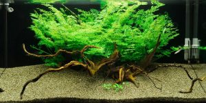 Water Sprite Plant
