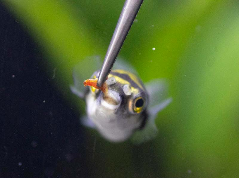 Amazon puffer eating from tongs