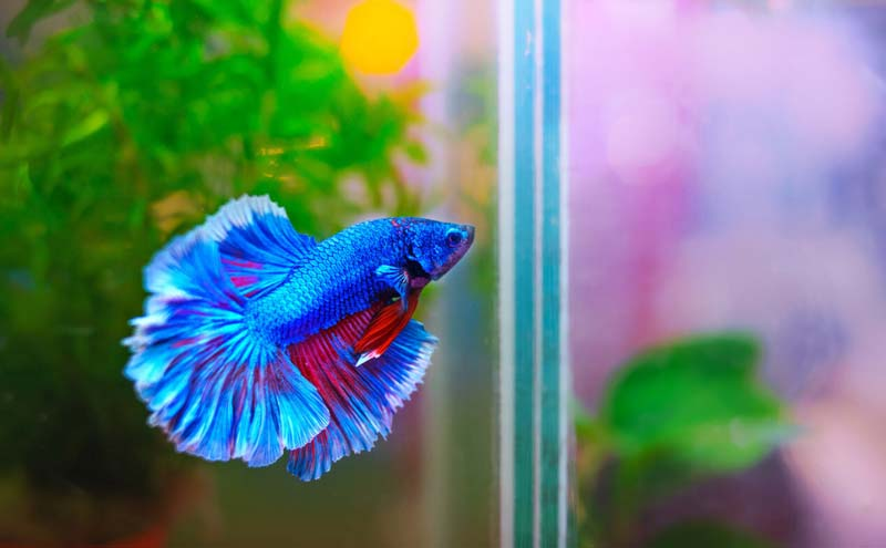Blue male betta fish